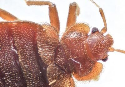 Bed-Bugs-400x284